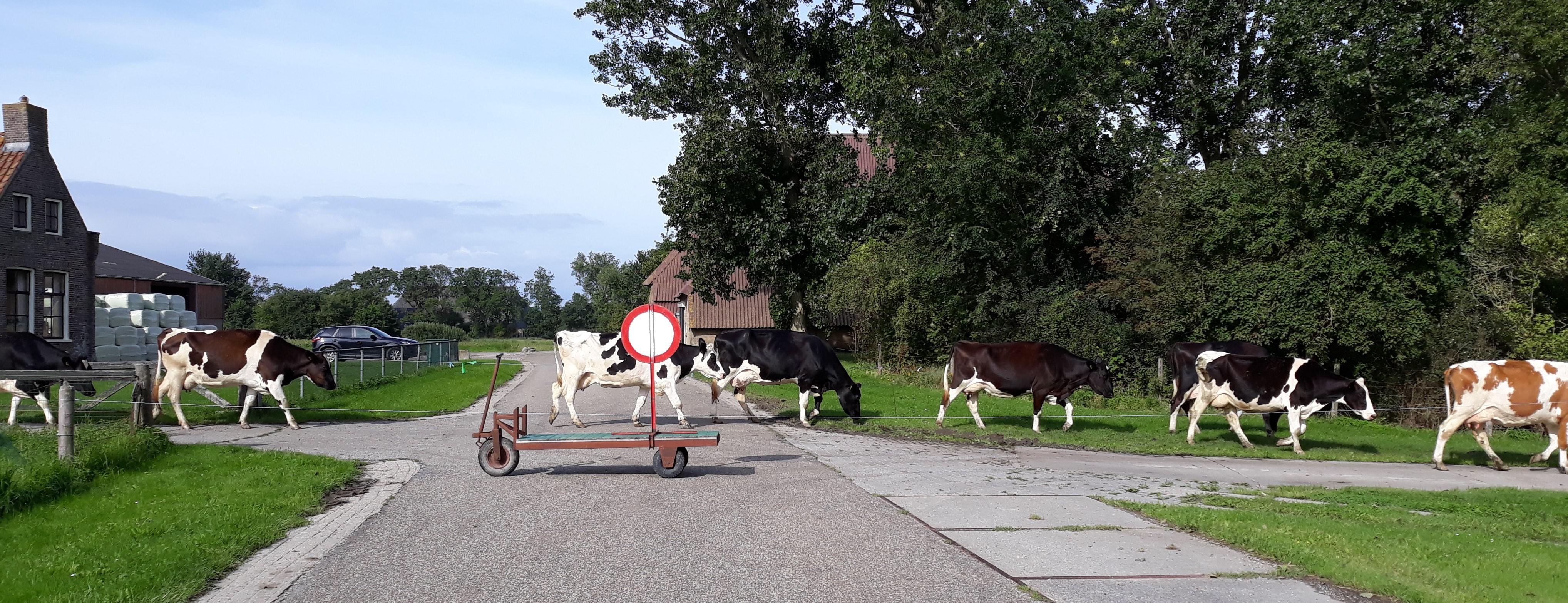 Overstekende koeien op de Foarryp
